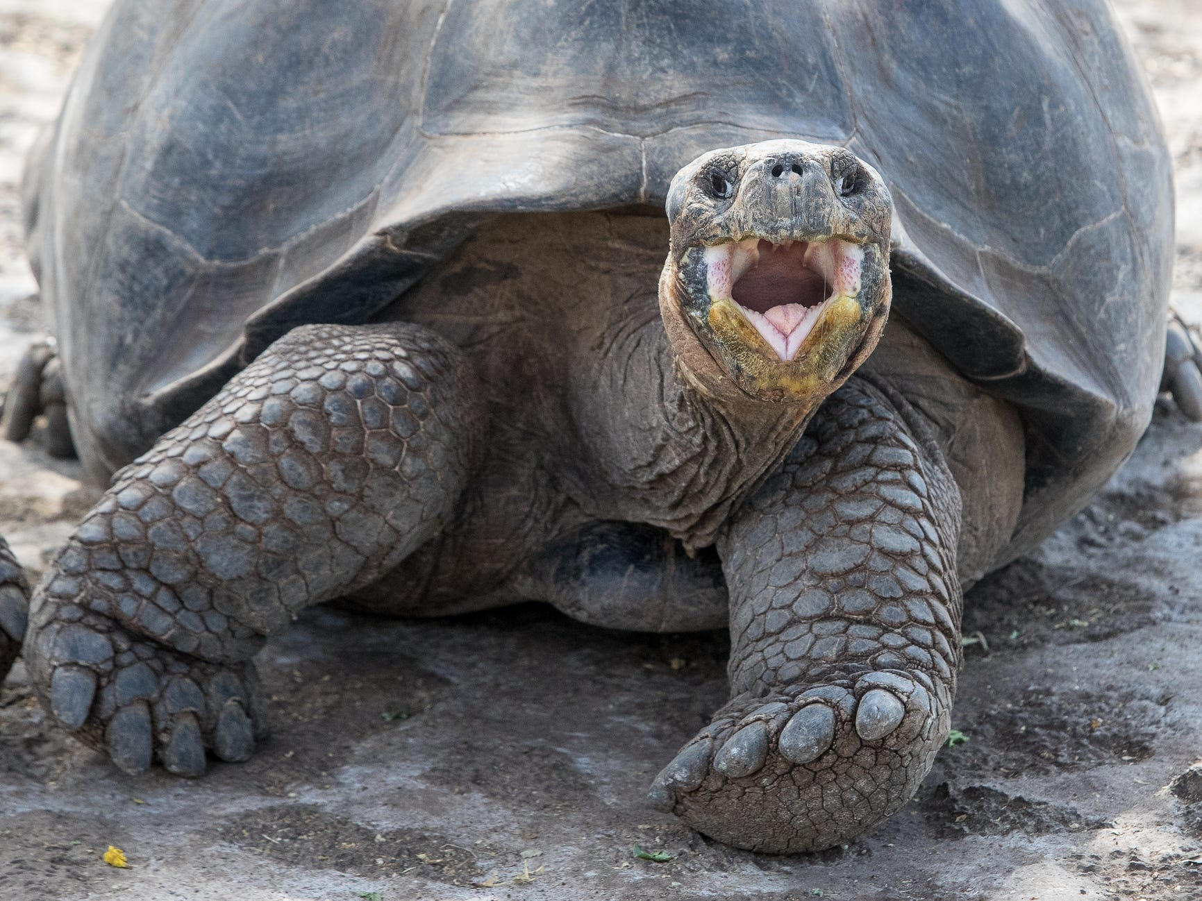 A giant tortoise in the Galapagos Islands, Ecuador.