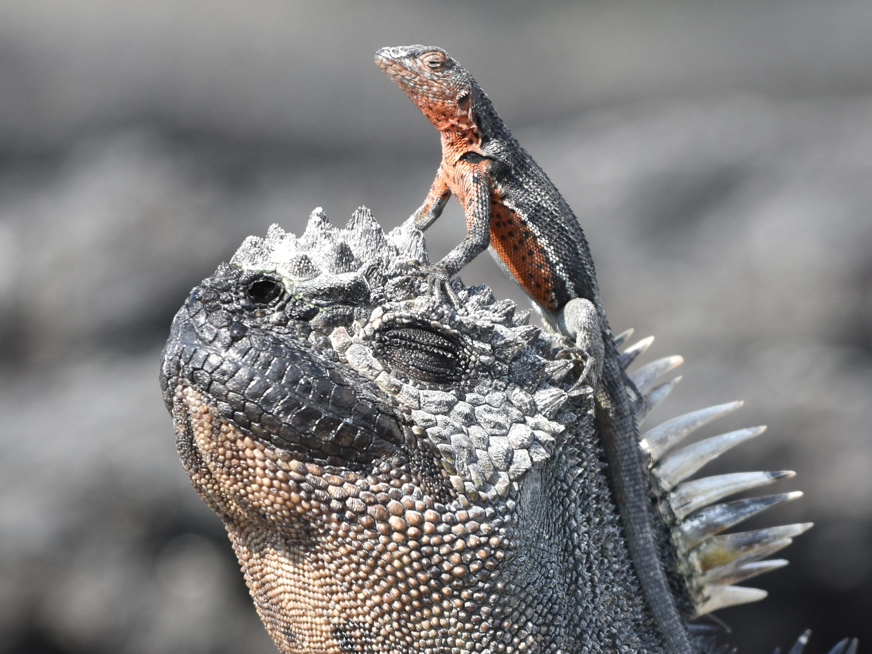 A lava lizard perches on a marine iguana in the Galapagos Islands, Ecuador.