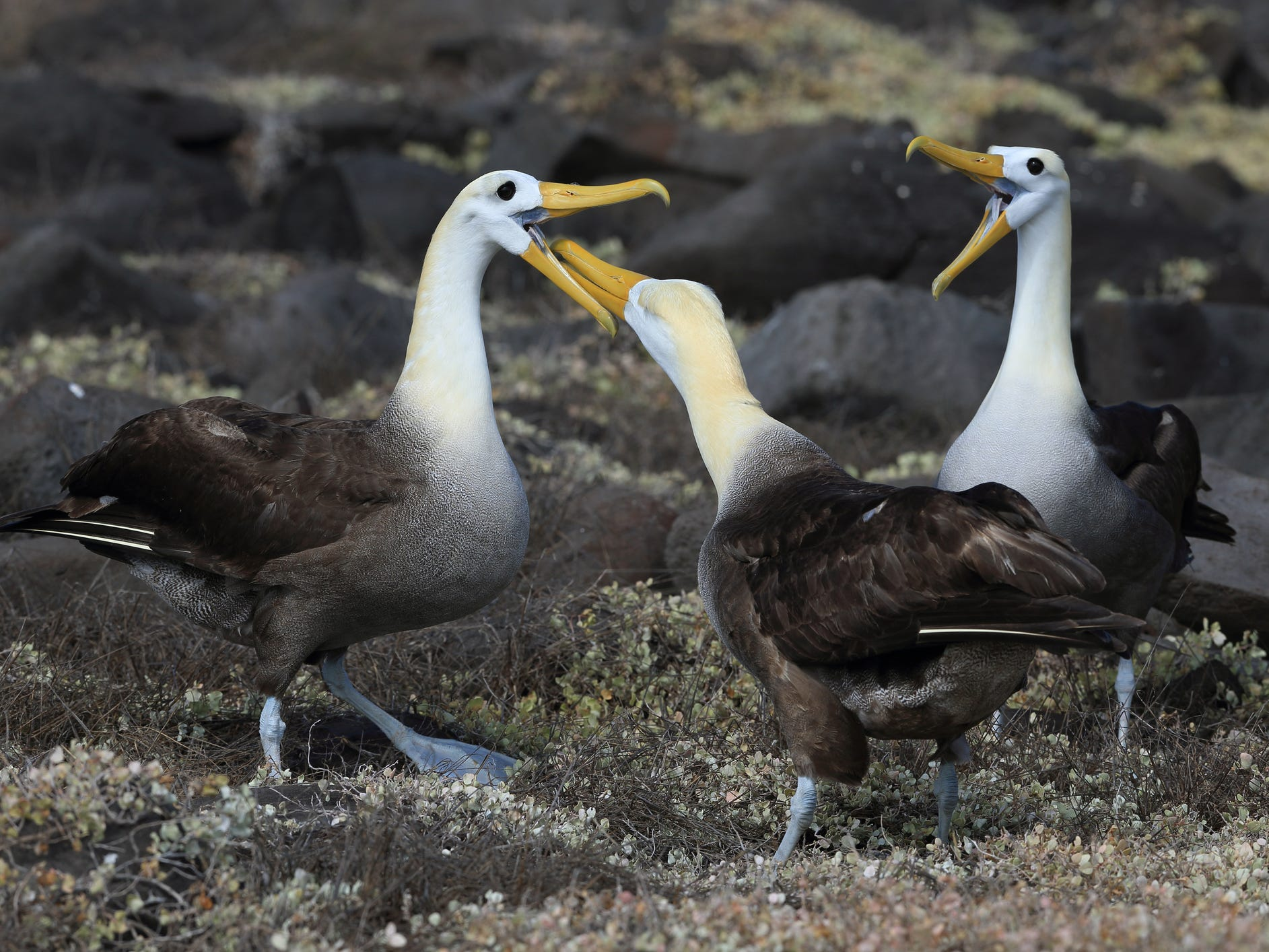 Waved albatrosses in the Galapagos Islands, Ecuador.