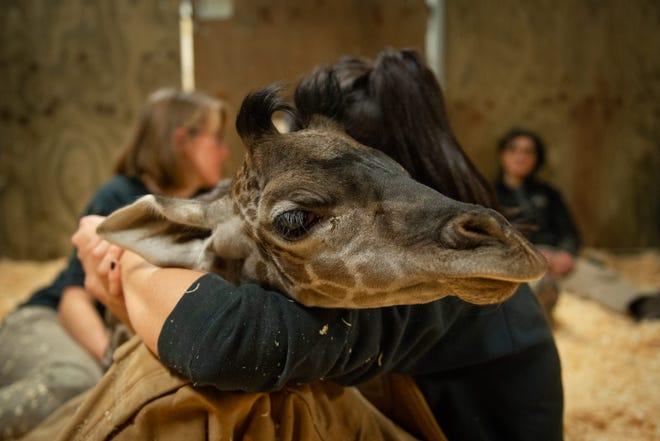 Columbus Zoo and  Aquarium mourns baby giraffe.