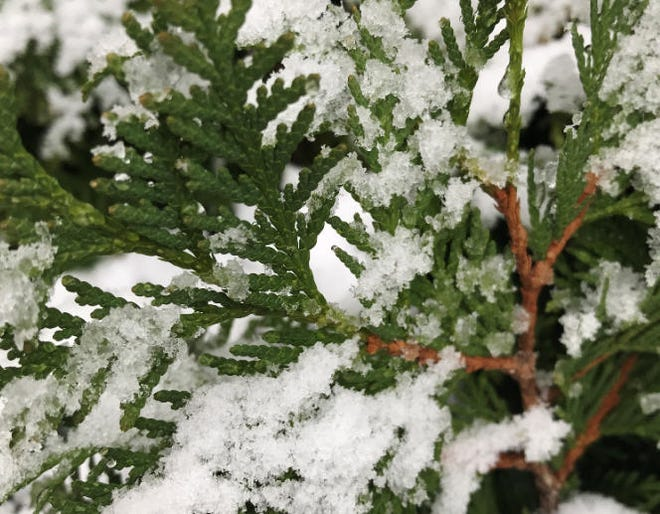 Snow gathers on a pine tree in Grosse Pointe Woods.
