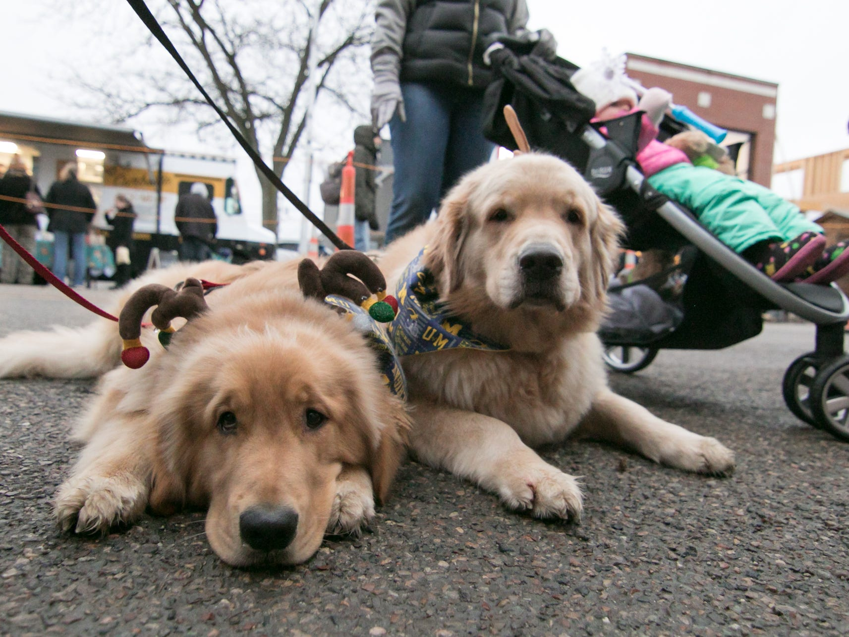 Chance, left, and Duke, two golden retrievers, wear reindeer antlers and University of Michigan bandanas around their necks at Brighton's Holiday Glow Saturday, Nov. 17, 2018.