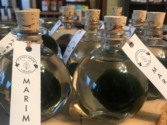 A Marimo at Tippecanoe Herbs