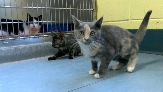 Kittens play at the Northern Ocean County Animal Facility in Jackson Monday, November 19, 2018.
