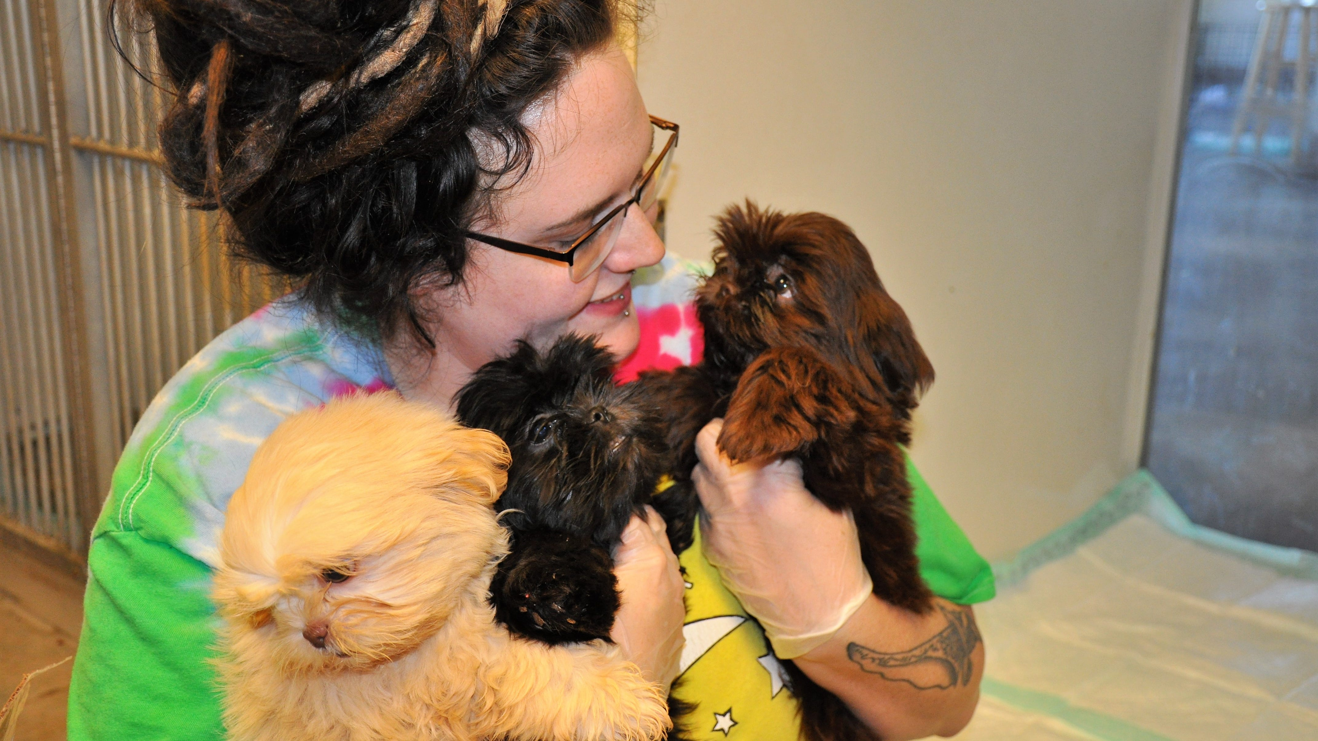 Hope Gallaway with Rescue the Animals, SPCA in Abilene, Texas hold three Shih Tzu puppies after cleaning their kennel space on Monday, Nov. 19, 2018. The pups were among the 78 dogs rescued from a filthy house in Callahan County.