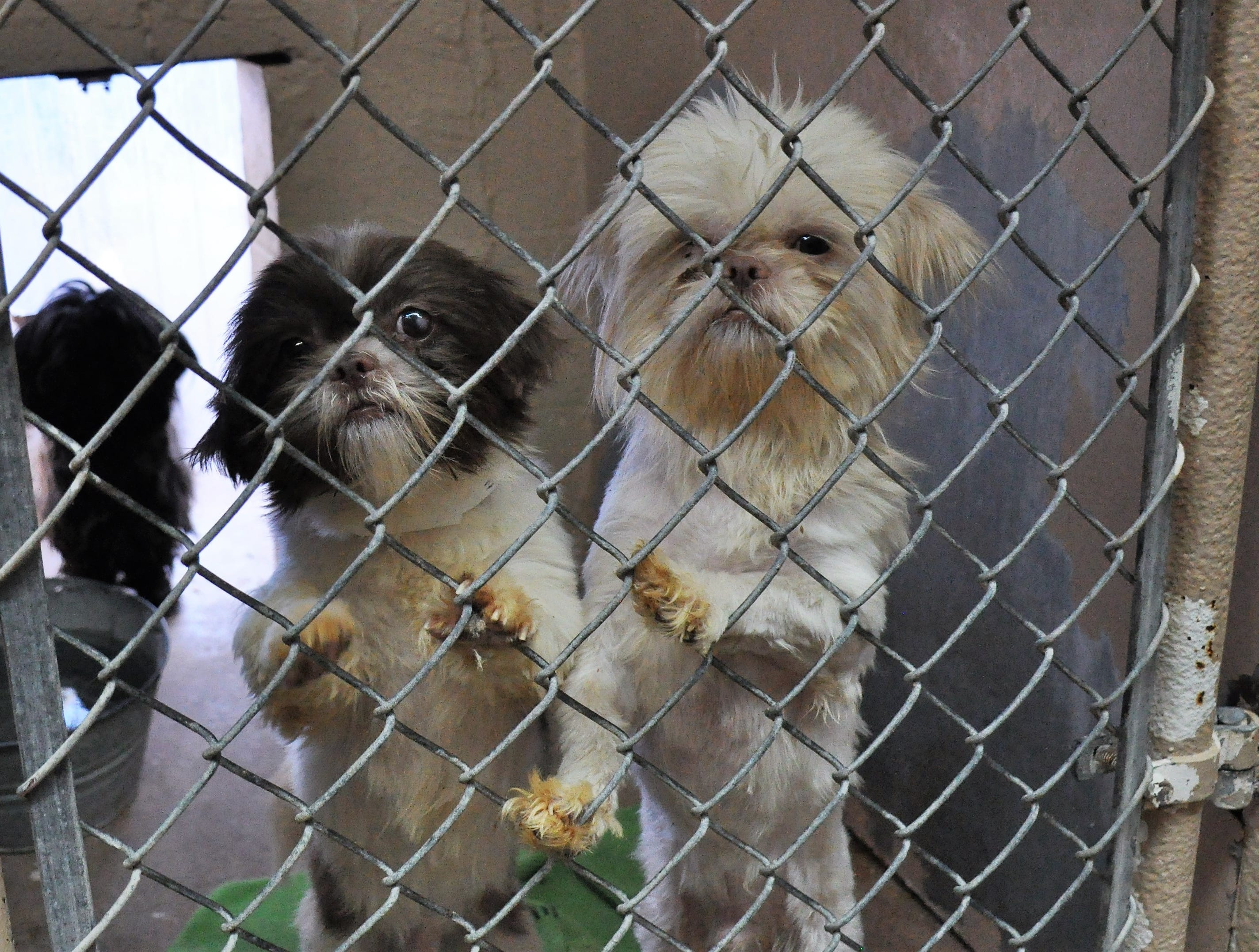 Several of the dogs rescued from a filthy house in Callahan County are now clean, doctored and living in clean conditions at Rescue the Animals on Monday, Nov. 19, 2018.