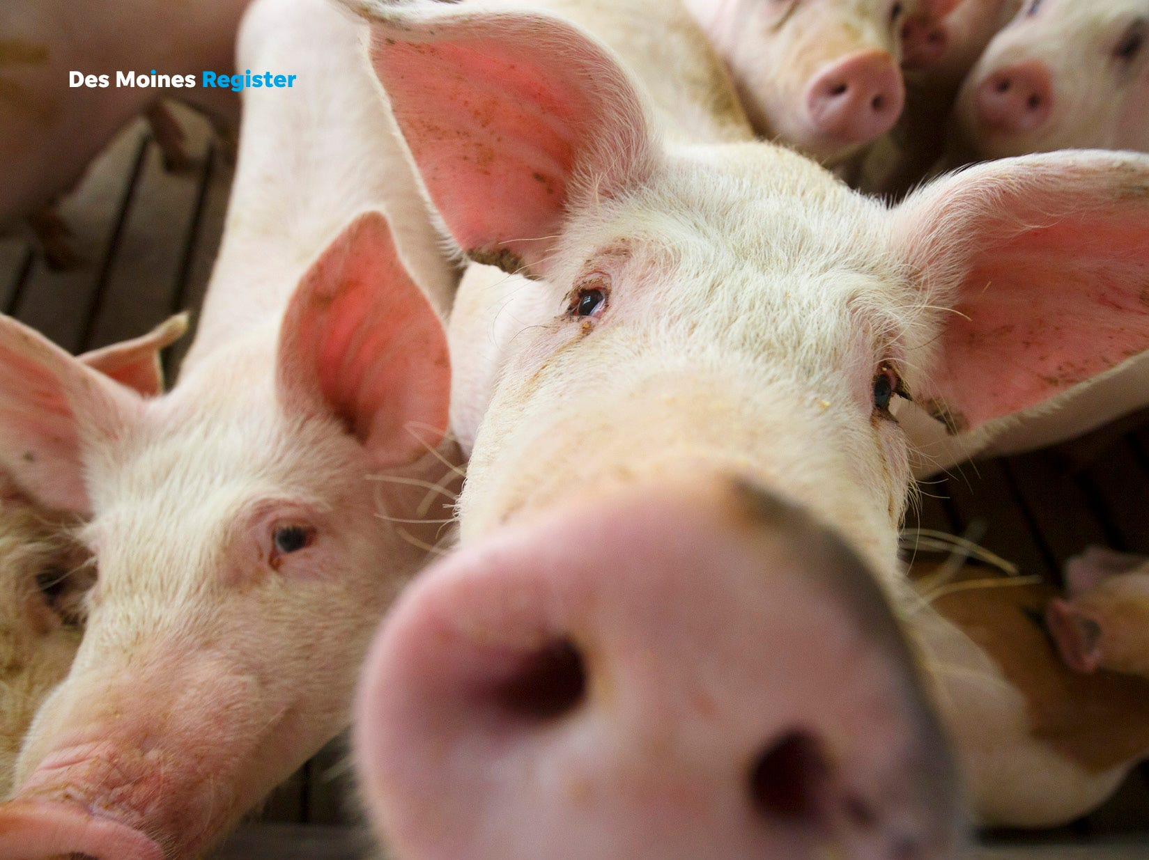 "<b>November: </b>Pigs from a concentrated animal feeding operation near Elma pose for the camera. The Register's 2019 photo calendar is available for $18 at <a href=""https://shopdmregister.com/collections/photo-gifts/products/2019-des-moines-register-photo-calendar?utm_source=desmoinesregister&utm_medium=link&utm_campaign=launch_gallery"" target=""_blank"">ShopDMRegister.com. </a>"