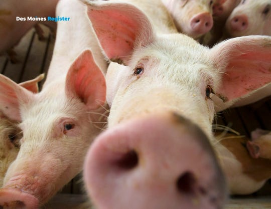 Pigs from a concentrated animal feeding operation near Elma pose for the camera in this Register file photo.