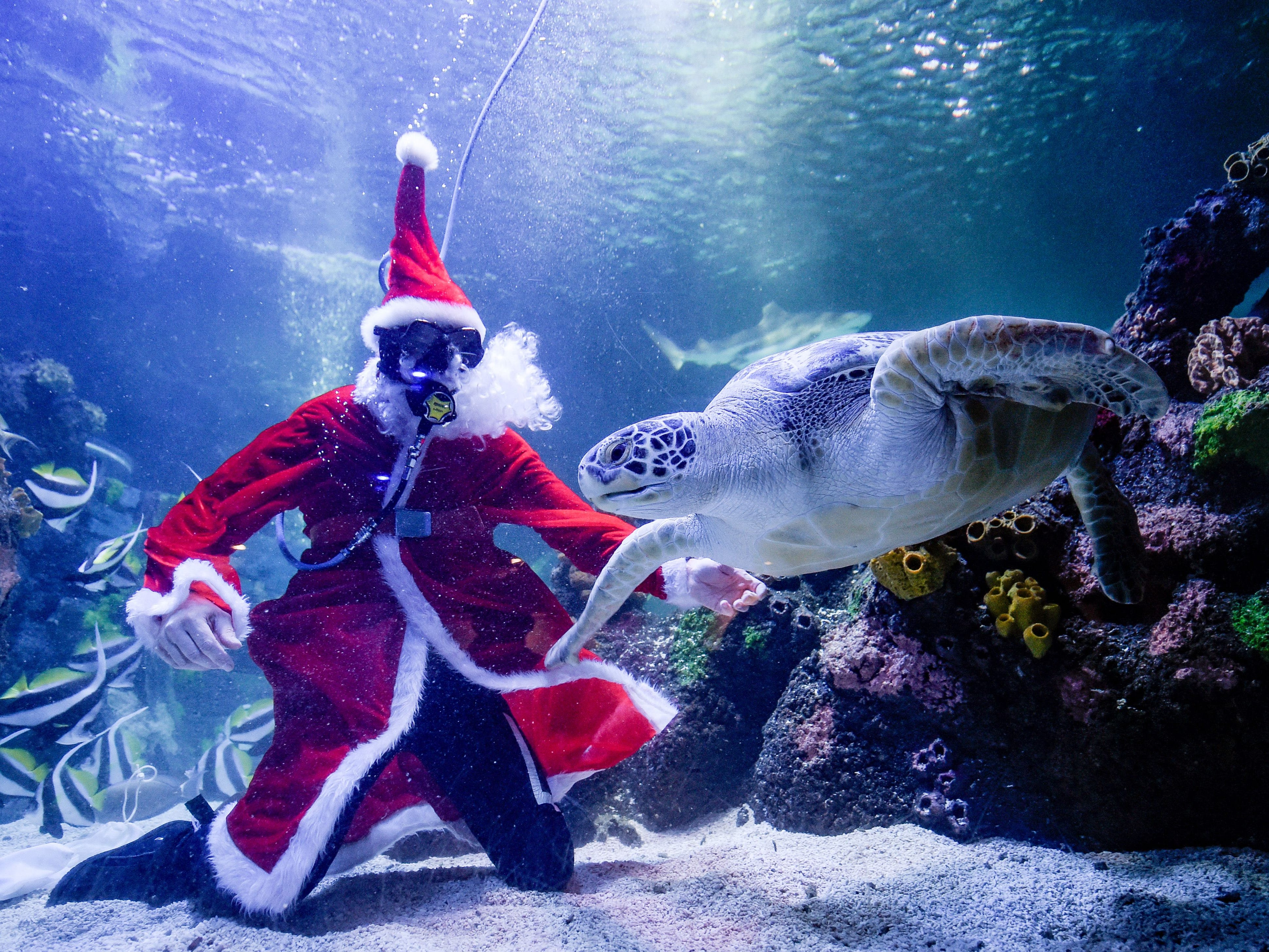"A diver dressed as Santa Claus feeds sea turtle ""Speedy"" in a basin of the SeaLife aquarium in Timmendorfer Strand, northern Germany, during a promotional event on Nov. 19, 2018."