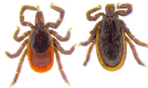 Female and male black-legged deer ticks carry bacteria that cause Lyme disease as well as other disease-causing pathogens.