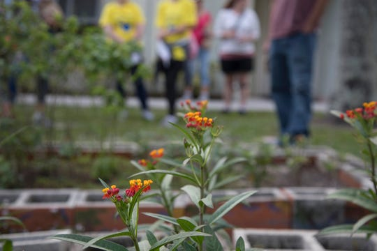 A milkweed garden at Saluscare in Fort Myers gives food to endangered Monarch butterflies and happiness to residents who find it therapeutic to raise and release the baby caterpillars.