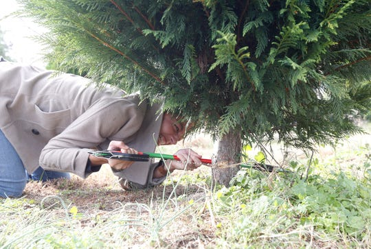 Millers Christmas Tree Farm.Christmas Tree Farming A Balance Of Patience Hard Work And