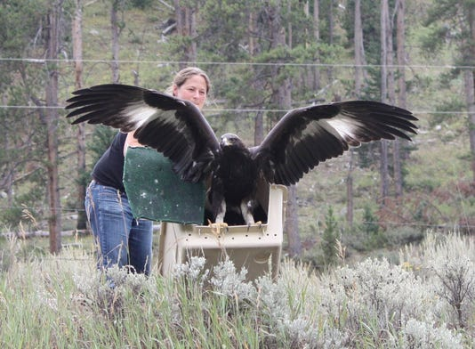 The Release Of A Juvenile Golden Eagle Photo By Mrcc