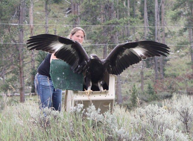 The Release Of A Juvenile Golden Eagle