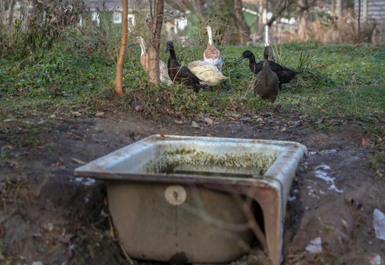 Ducks waddle around the Carmel, Ind., property of Adam and Emmanuelle Schwarz on Friday, Nov. 16, 2018. The Schwarz's allow the ducks to bathe and poop in an old bathtub. When the tub is full, they release the water down a hill that feels a series of vines and trees.