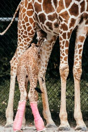 With splints, Mashamba the baby giraffe could continue to stand and nurse while her unconventional legs developed into their normal function.