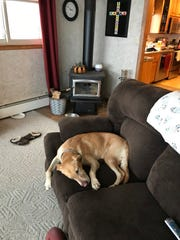 Jesse, a Labrador retriever owned by Paul and Michelle Muche of Van Dyne, Wisconsin, rests on a couch in the couple's home shortly after being recovered Nov. 11, 2018. The dog was lost on the west shore of Lake Winnebago for two days.