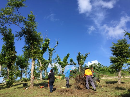 Crews from the Naples Botanical Garden, Vizcaya Museum and Gardens and the Arboretum Doña Inés Park in San Juan, Puerto Rico, on Jan. 16, 2018, remove a stump of a tree that did not survive Hurricane Maria last year.