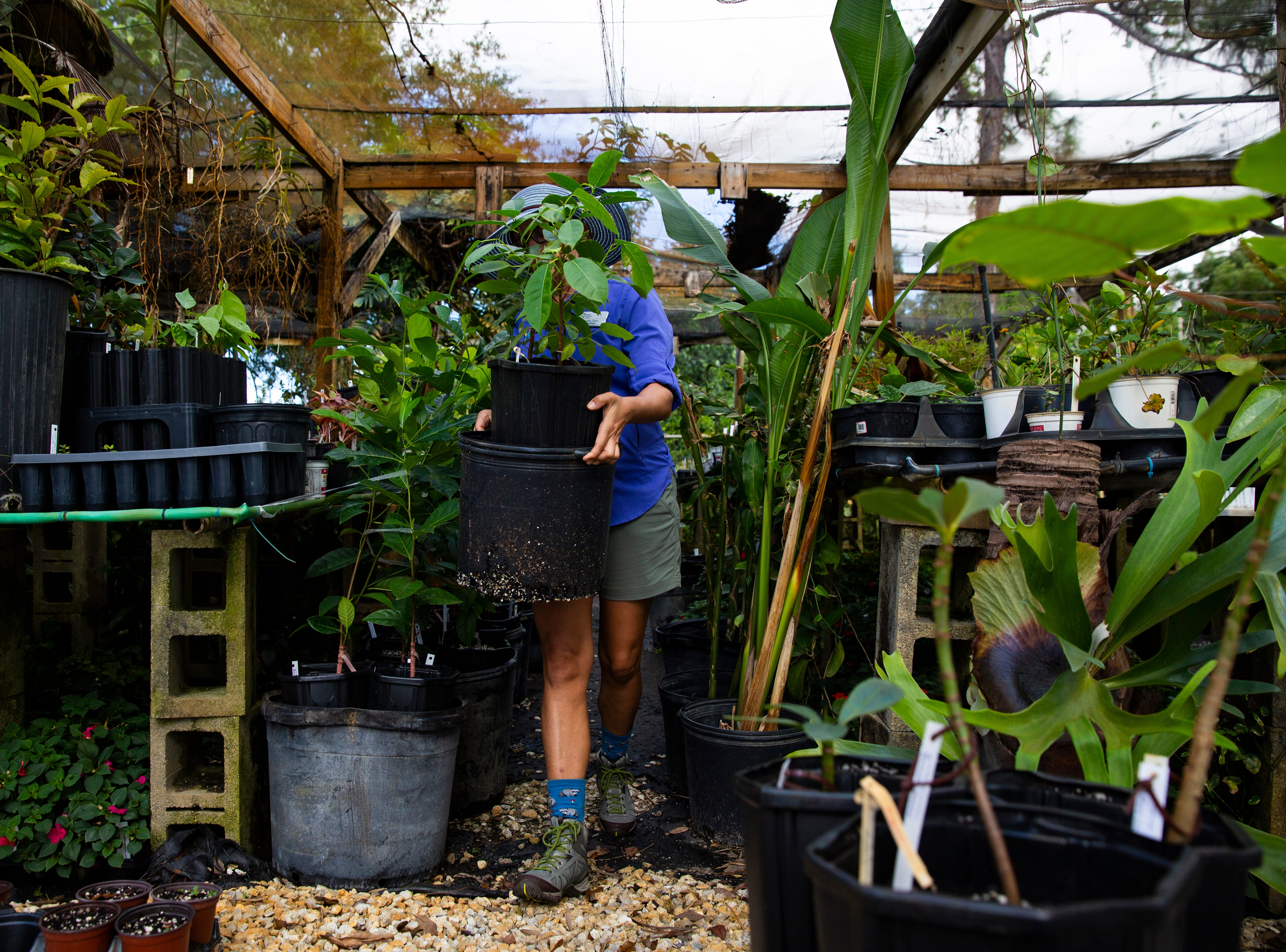 Naples Botanical Garden nursery manager Andrea Grace on Thursday, Nov. 15, 2018, takes care of some of the 86 seedlings and plants that were brought from Puerto Rico to Naples Botanical Garden after Hurricane Maria.