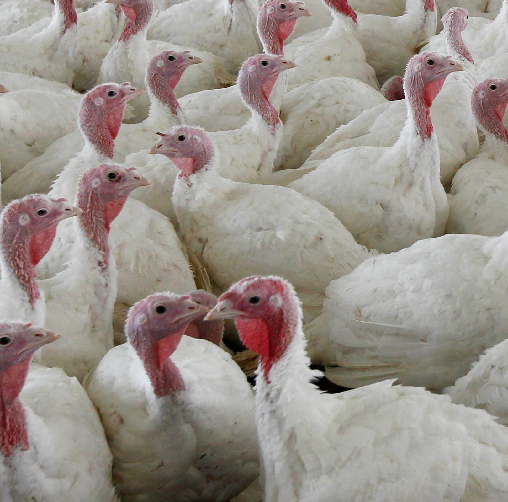 Salmonella found in turkey: What this means for your Thanksgiving