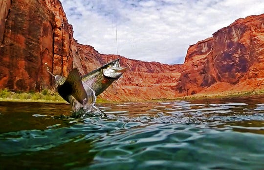 A rainbow trout jumps in the air after being hooked by a fly fisherman on the Colorado River near Marble Canyon on  July 11, 2018.