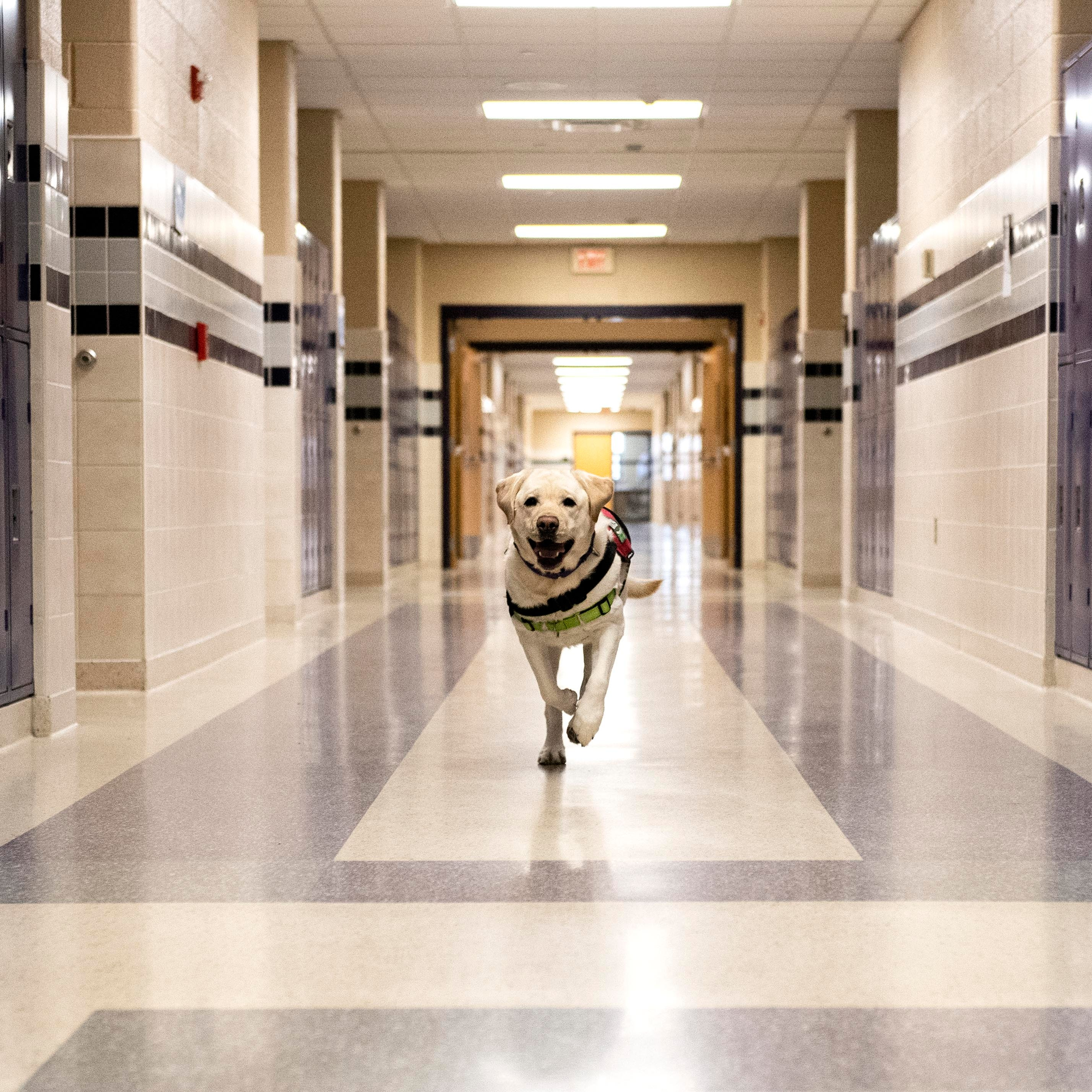 More than doggie kisses: Labs bring emotional support, life lessons to York County schools