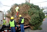 Vineland Department of Public Works harvested the city's annual Christmas tree on Monday, November 19, 2018.
