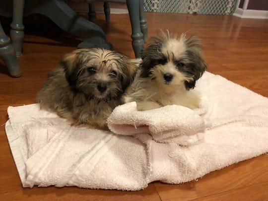 Sheldon and Missy, 8-week-old puppies rescued from a Shamong home, are spending time in a foster home to prepare for adoption.