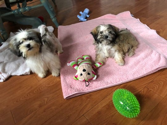 Missy and Sheldon are learning puppy skills like playing with toys in their foster home,