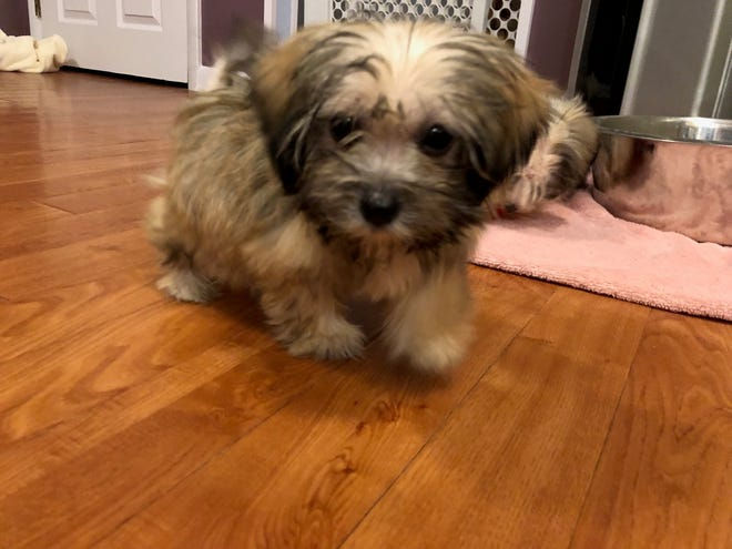 Sheldon's 'super short' legs make it tough for him to get up the steps for now, says his foster mom. The 8-week-old puppy was one of more than 160 dogs rescued from a Shamong home.