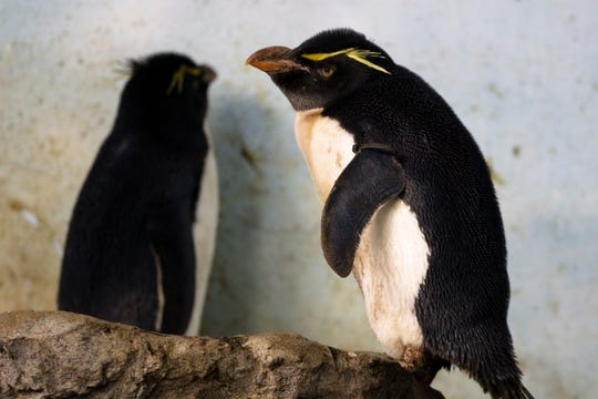 Rockhopper penguins, native to the southern coasts of South America, explore rocks inside Wings of the World, an exhibit at the Cincinnati Zoo and Botanical Gardens.