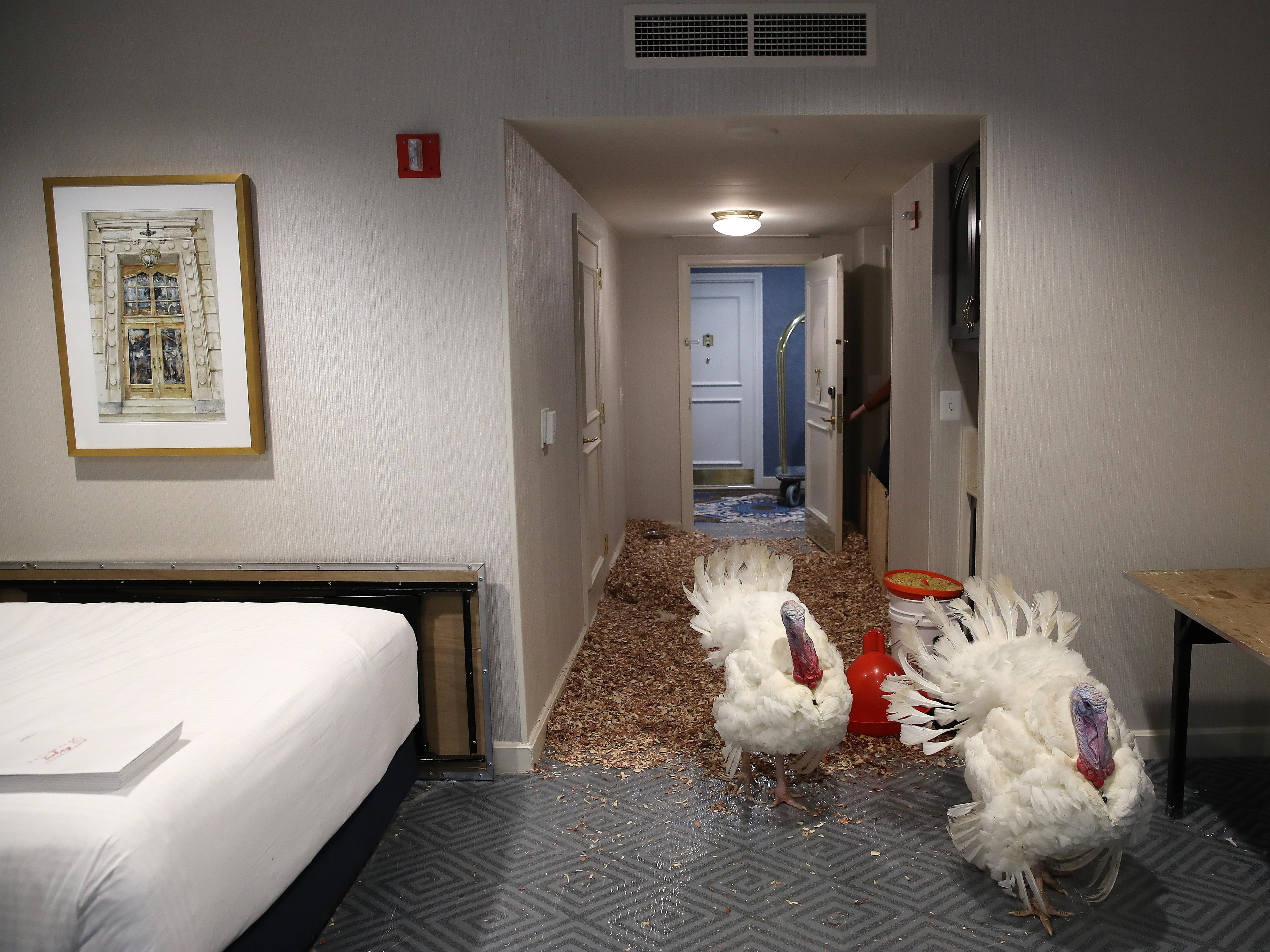 Peas and Carrots, the National Thanksgiving Turkey and its alternate, walk in their hotel room at the Willard Hotel after being introduced to members of the media during a press conference held by the National Turkey Federation November 19, 2018 in Washington, DC. The two turkeys will both be 'pardoned' following the presentation of the national turkey to U.S. President Donald Trump on Tuesday.
