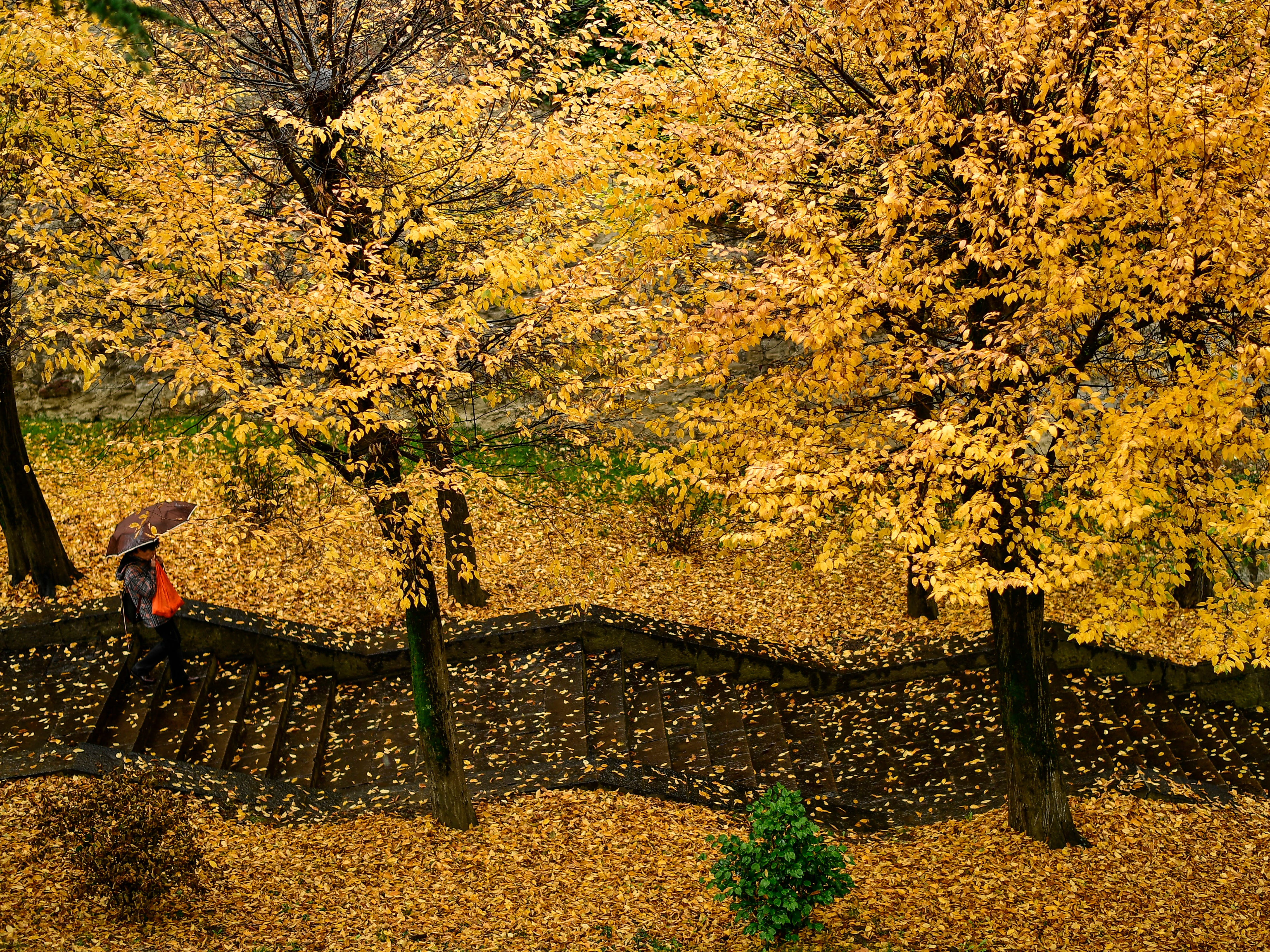A pedestrian walks down a stairways through a row of trees during a rainy autumn day, in Pamplona, northern Spain, Tuesday, Nov. 20, 2018.