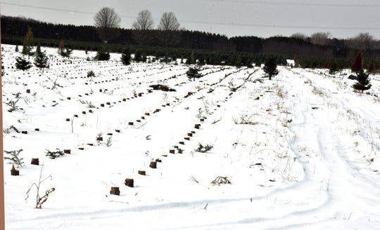 A month after the harvest began in October near Manton, Michigan, this field at the Dutchman Tree Farms is cleared of trees. In the spring the field will be replanted with new trees.