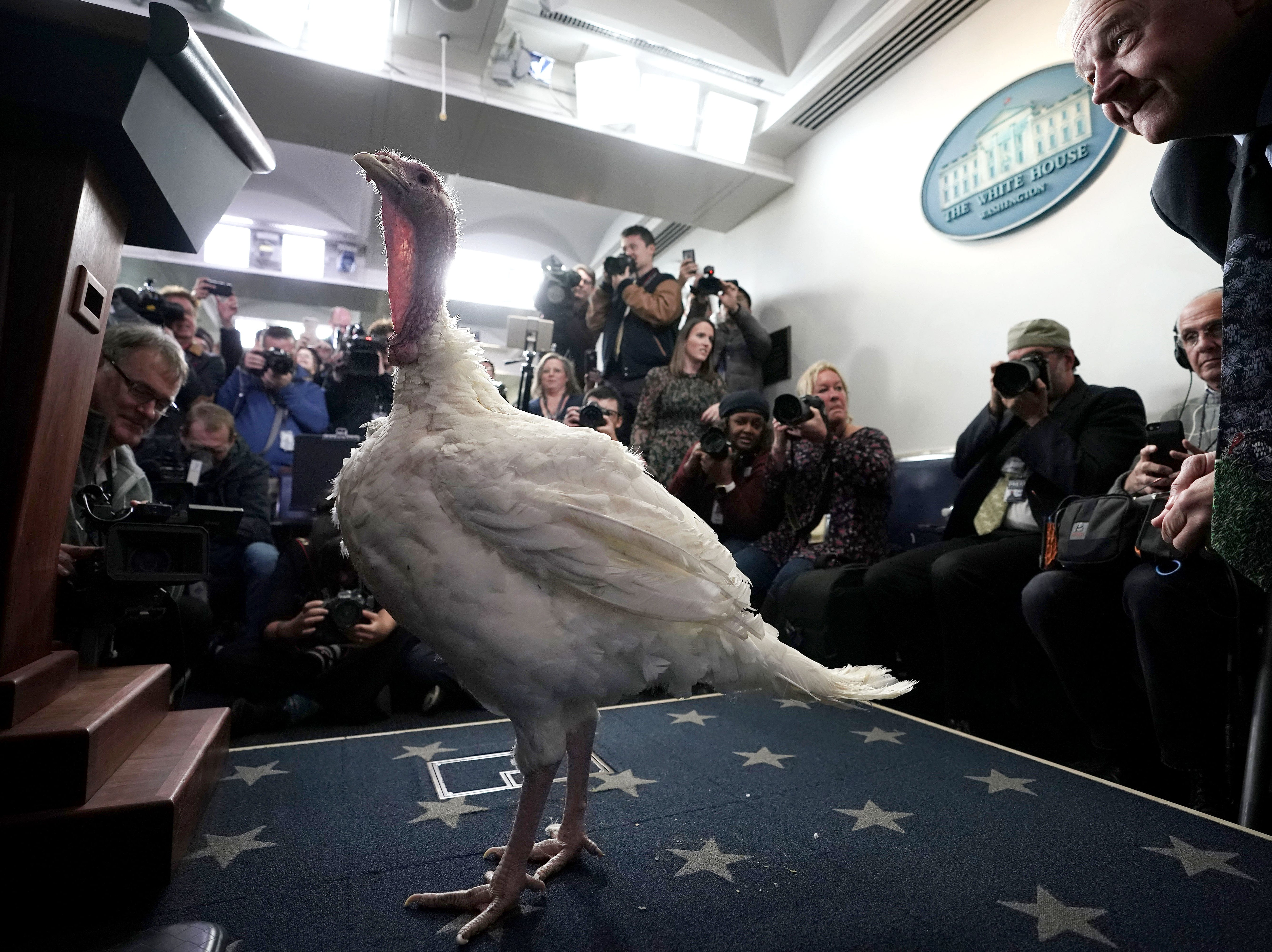 Jeff Sveen, chairman of the National Turkey Federation, watches one of the turkeys that will be pardoned as he brought it into the James Brady Press Briefing Room for a visit with members of the press November 20 at the White House in Washington, DC. The two turkeys, Peas and Carrots, are scheduled to be pardoned by U.S. President Donald Trump during an annual presidential tradition in the Rose Garden today.