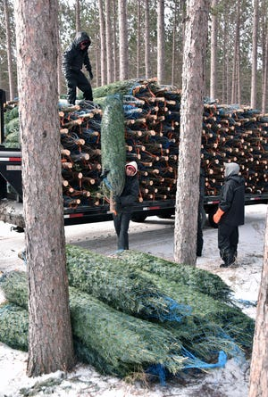 Freshly-harvested Christmas trees are unloaded from a field wagon for shipping at the Dutchman Tree Farms near Manton, Mi, Tuesday, Nov. 20, 2018.