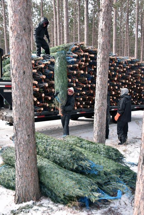 Christmas Trees Dutchman Tree Farm