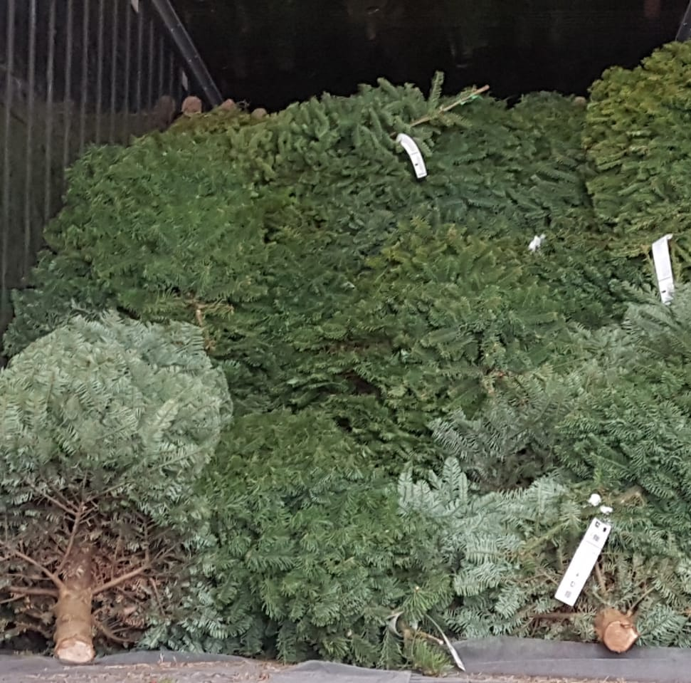 Guam Customs & Quarantine Agency treats imported Christmas trees