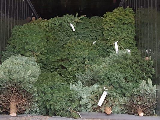 Christmas Trees Undergo Treatment