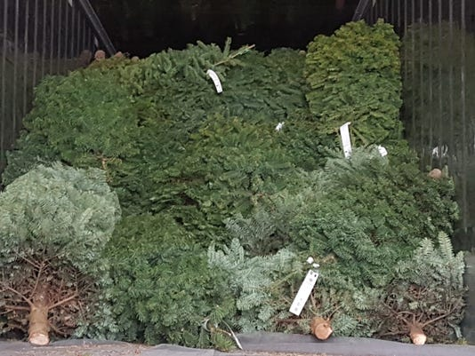 Christmas Trees Undergo Treatment