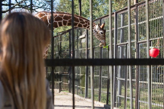 As a zookeeper looks on, Mr. Knox, the giraffe, smells winter greens gifted to him Nov. 20, 2018, by the student gardeners of Wingfield High School in Jackson. It was the debut meal from the harvest born of the partnership between the Jackson Zoo and the Wingfield agriculture program.