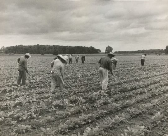 Seasonal workers thinning beets, 1958.