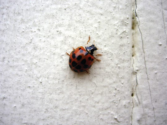 Ladybugs are harmless to humans and help control garden pests, such as aphids, mites, and scale insects.