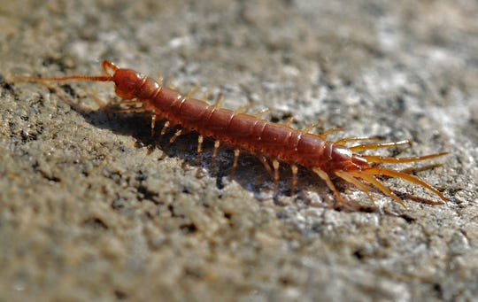 Centipedes eat other insects – one of their favorites being the German cockroach.