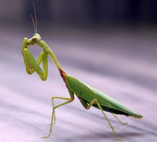 Praying mantises often eat insects such as mosquitoes, flies and moths.