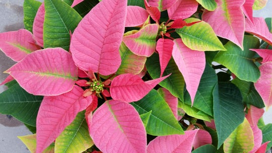 Poinsettias of deep red, pink, white and assorted variegated forms, both large and small, will be on sale at CCM on Thursday.