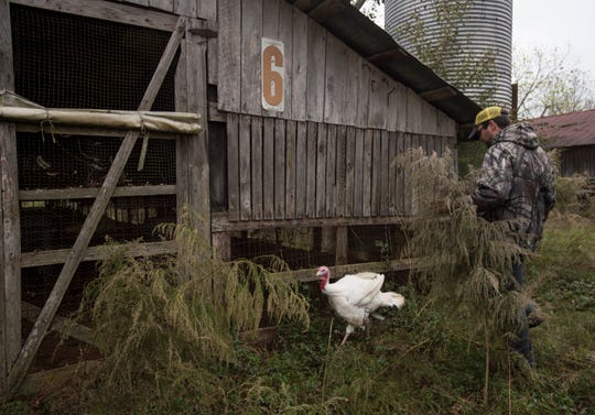Ben Bates guides Clyde, one of the turkeys pardoned by the governor, back into his house at the Bates Turkey Farm in Fort Deposit, Ala., on Tuesday, Nov. 20, 2018.