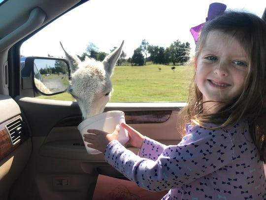 Five year old Maddie Miller loved the animals poking their heads inside the car to eat out of her bucket.