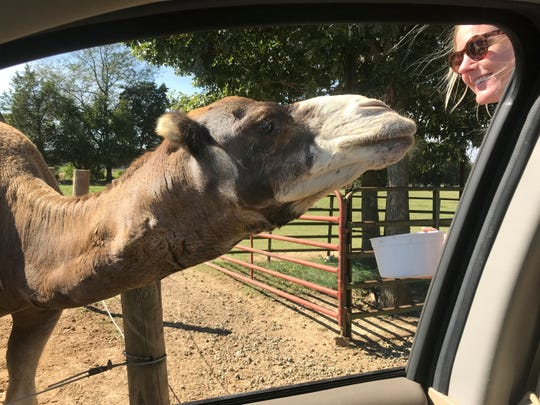 A camel greets Elizabeth Miller at the Tennessee Safari Park.