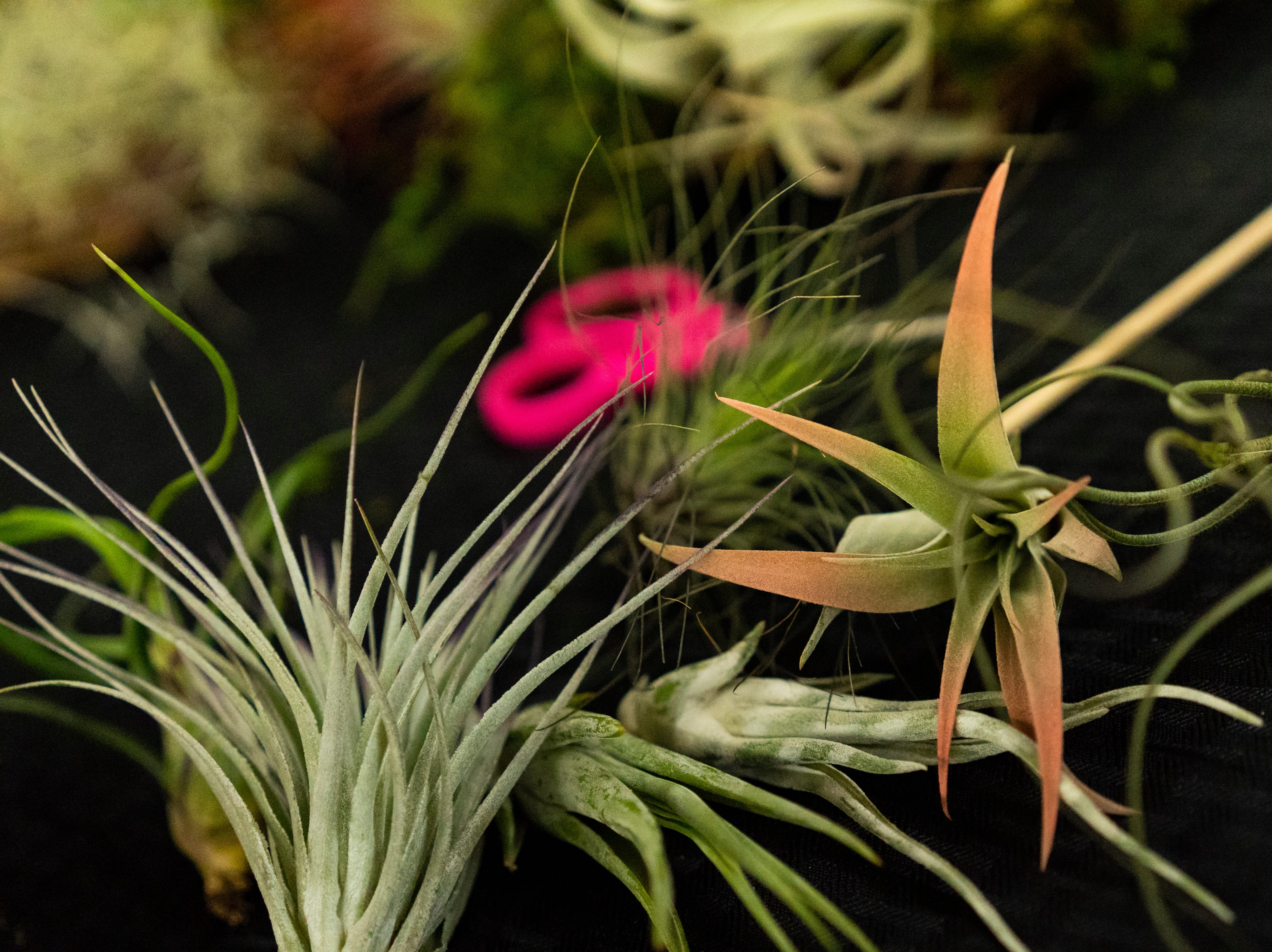 Air plant lay scattered on the demonstration table as Joel Toledo, the 11 year owner of Green Door Nursery in East Naples gathers material to make a holiday wreath with the air plants on Tuesday, Nov. 20, 2018. Toledo will be offering a minute hands-on class for $60 come December.